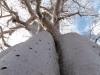 Vue d\'un Baobab